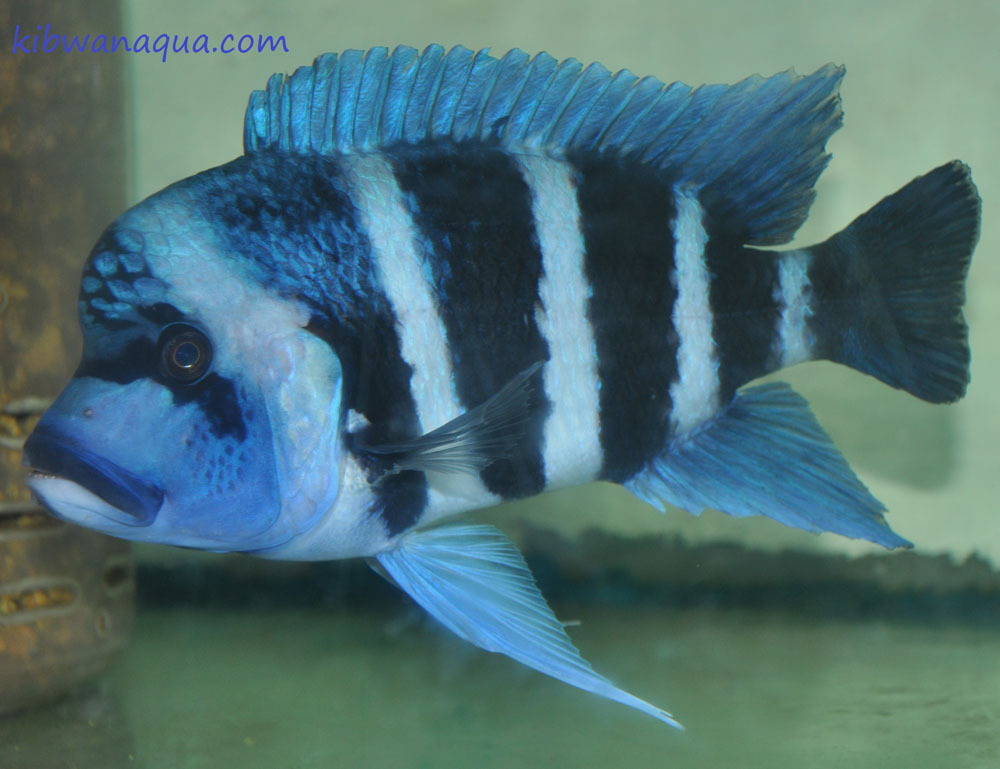 Lake Tanganyika cichlids gallery.
